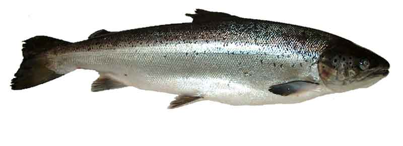 saumon-norvegien-elevage